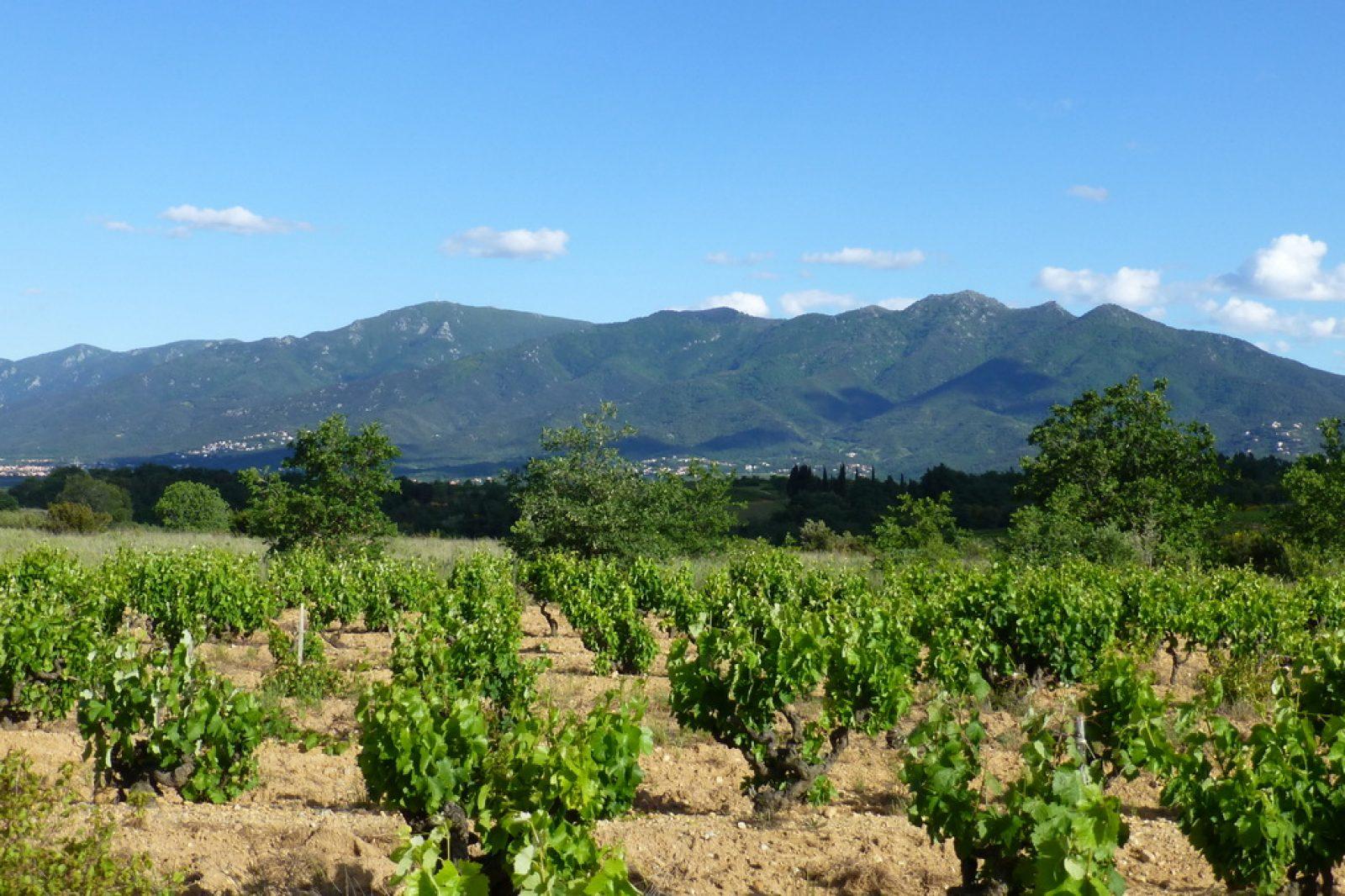 vue albères vignes